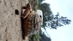 Pet Tortoise | Other Animals for sale in Oromia Region, East Shewa