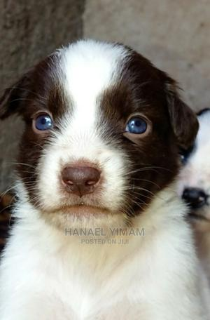 1-3 Month Female Purebred Border Collie | Dogs & Puppies for sale in Addis Ababa, Bole