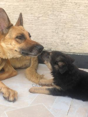 3-6 Month Female Purebred German Shepherd   Dogs & Puppies for sale in Addis Ababa, Yeka