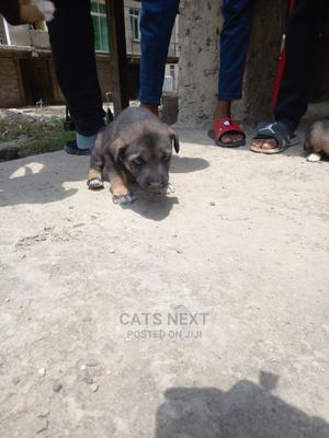 1-3 Month Female Mixed Breed German Shepherd | Dogs & Puppies for sale in Addis Ababa, Yeka