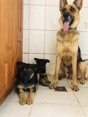 1-3 Month Female Purebred German Shepherd | Dogs & Puppies for sale in Addis Ababa, Bole